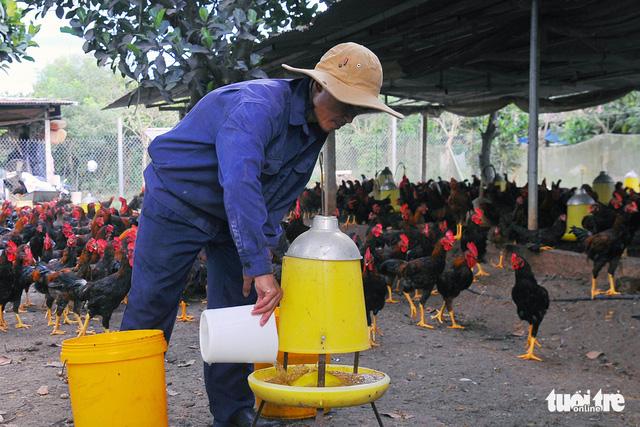 Giá gà tết thấp, thủ phủ gà thả vườn méo mặt - Ảnh 1.