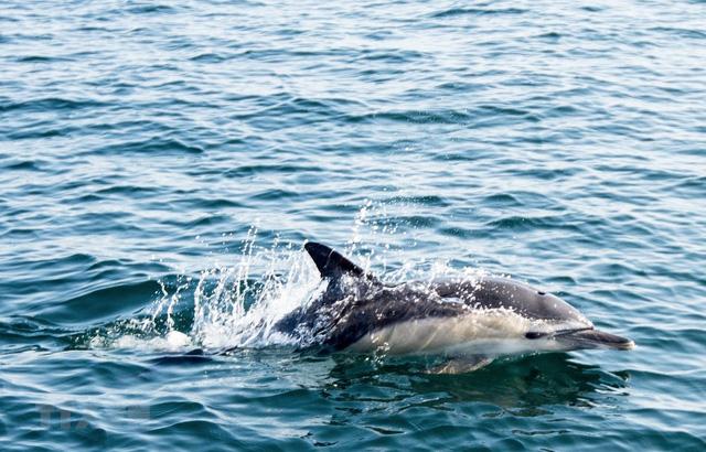 Bảo vệ cá heo bằng sóng âm - Ảnh 1.