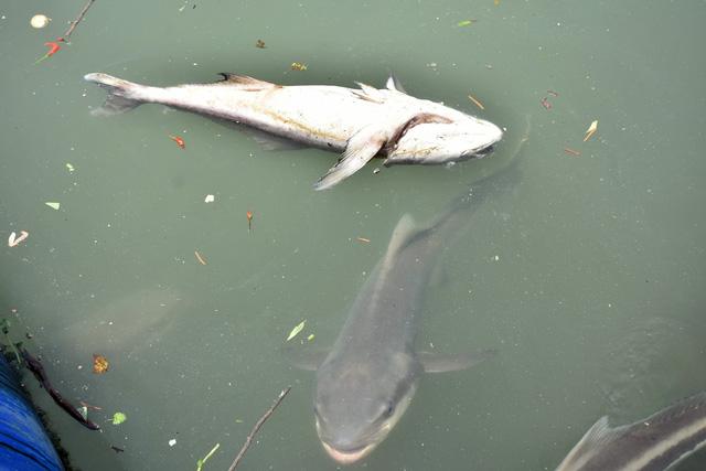 Hàng chục tấn cá bè Long Sơn chết - Ảnh 2.