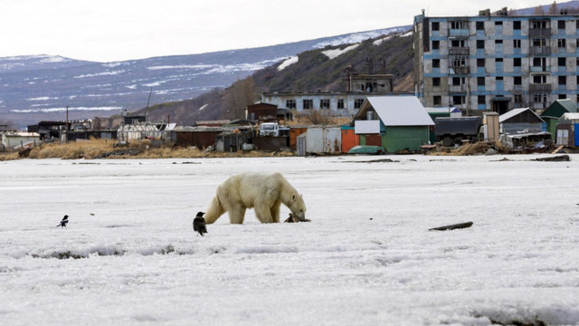 Gấu Bắc cực đi lạc… 700km - Ảnh 1.