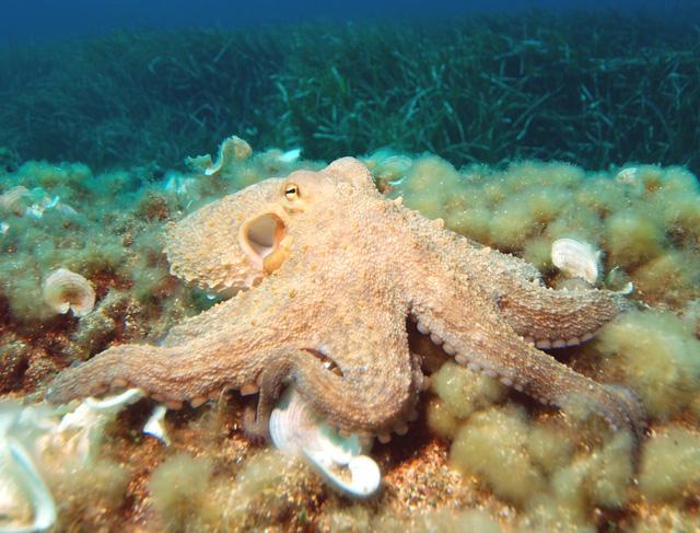Biến đổi khí hậu khiến bạch tuộc bị mù - Ảnh 1.