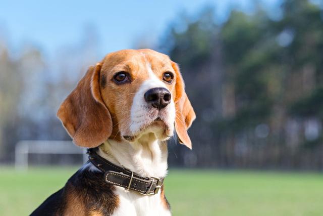 Chó có thể phát hiện ung thư phổi với độ chính xác lên tới 97% - Ảnh 1.