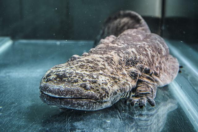 Phát hiện loài động vật lưỡng cư lớn nhất thế giới tại sở thú London - Ảnh 1.