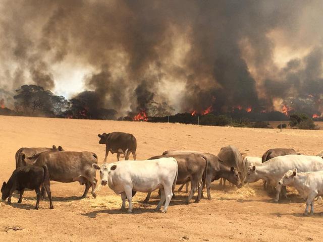 Đảo Kangaroo của Úc cháy ngoài tầm kiểm soát, chính quyền kêu gọi di tản - Ảnh 1.