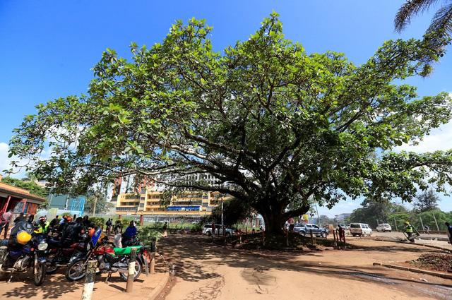 Tổng thống Kenya ban hành sắc lệnh chỉ để bảo vệ một cây sung - Ảnh 1.