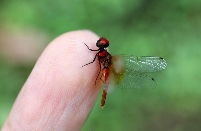 Phát hiện quần thể chuồn chuồn nhỏ nhất thế giới tại Trung Quốc - Ảnh 1.