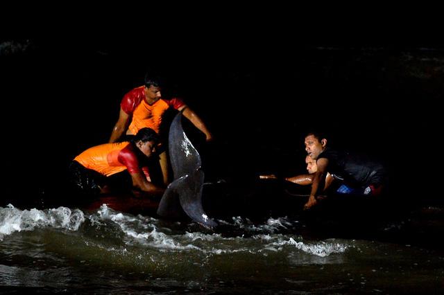 Giải cứu hơn 100 con cá voi mắc cạn ở bờ biển Sri Lanka - Ảnh 1.