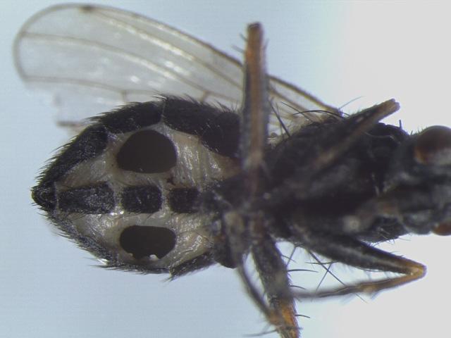 Đan Mạch phát hiện loài nấm ăn thịt biến ruồi thành xác sống - Ảnh 1.
