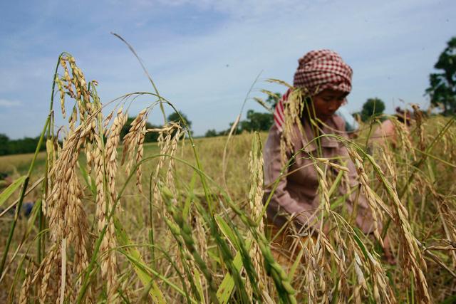 Hiệu quả từ Dự án lúa gạo thân thiện tại Campuchia - Ảnh 1.