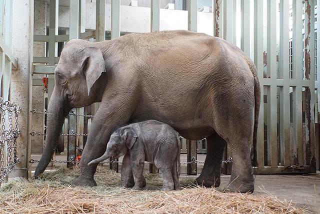 Vườn thú Tokyo đón mừng voi con đầu tiên sinh ra tại đây - Ảnh 1.