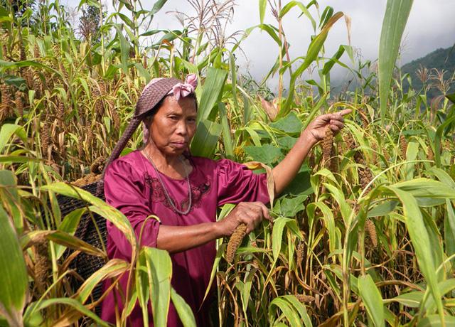 Biến đổi khí hậu khiến nông dân Ấn Độ chuyển sang trồng kê - Ảnh 1.