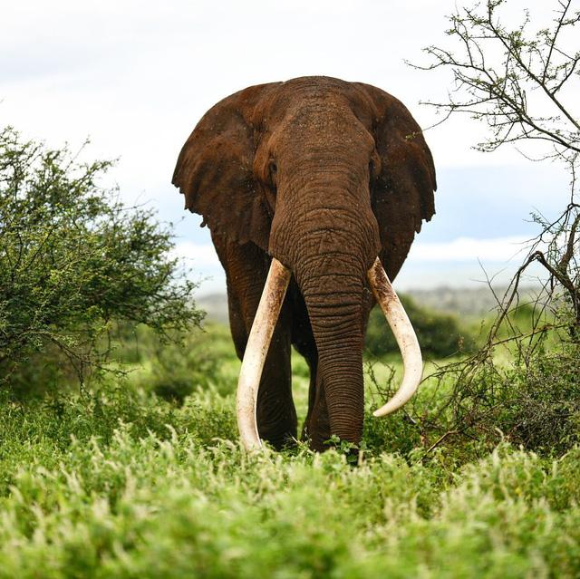 Một trong những con voi ngà dài cuối cùng của châu Phi qua đời - Ảnh 1.