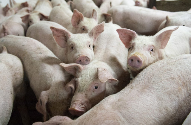 Trung Quốc tiếp tục hỗ trợ các doanh nghiệp tư nhân sản xuất thịt lợn - Ảnh 1.