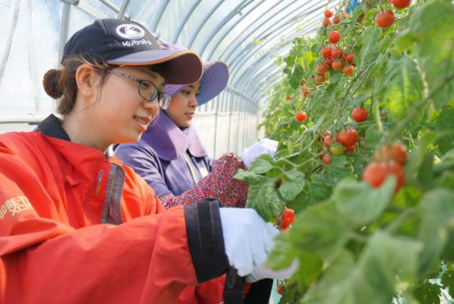 Nhật Bản thiếu 1.000 thực tập sinh nước ngoài trong ngành nông nghiệp - Ảnh 1.