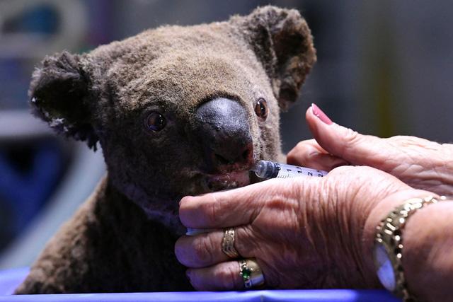 Australia áp dụng công nghệ mới hỗ trợ loài koala sau cháy rừng - Ảnh 1.