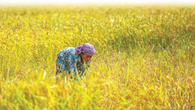 Xuất khẩu gạo của Campuchia tăng mạnh trong 2 tháng đầu năm 2020 - Ảnh 1.