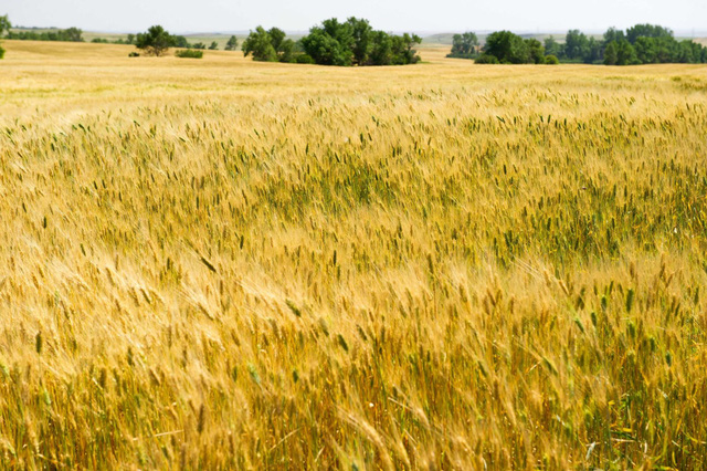 Giá lúa gạo toàn cầu tăng mạnh - Ảnh 1.