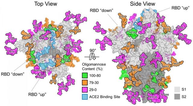 Phát hiện cách virus SARS-CoV-2 ngụy trang nhằm qua mặt hệ miễn dịch - Ảnh 1.