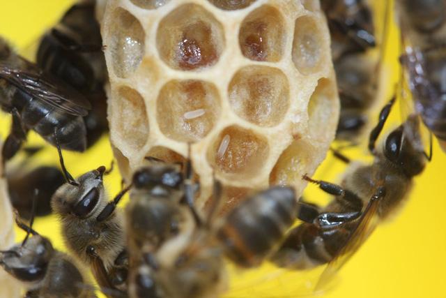 Bí ẩn sinh học ở loài ong mật Nam Phi - Ảnh 1.