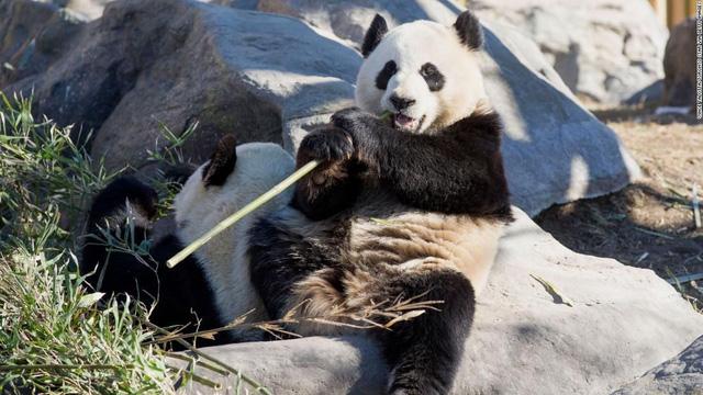 Vườn thú Canada trả gấu trúc về Trung Quốc vì không có đủ tre - Ảnh 1.