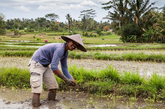 Indonesia cải tạo đất than bùn thành đất canh tác lúa - Ảnh 1.