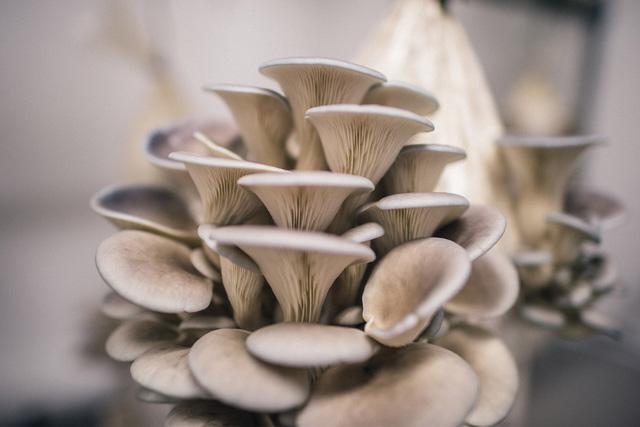 Trung Quốc công bố phát hiện mới về nguồn gốc của nấm sò - Ảnh 1.