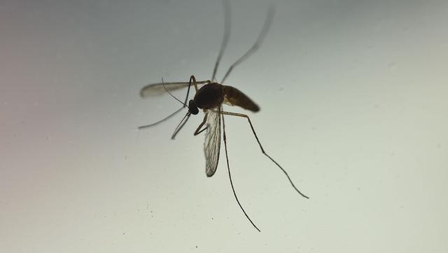 Muỗi không thể lây truyền virus SARS-CoV-2 sang người - Ảnh 1.