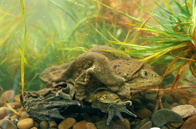 Các nhà khoa học Nam Mỹ tìm cách bảo tồn giống ếch khổng lồ Titicaca - Ảnh 1.