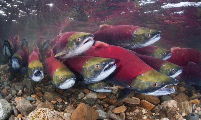 Lượng cá di cư toàn cầu giảm mạnh trong 50 năm qua - Ảnh 1.