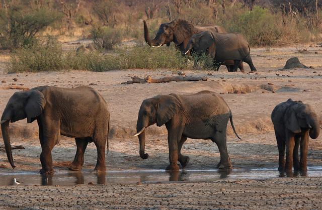 Zimbabwe điều tra cái chết bí ẩn của 11 con voi - Ảnh 1.