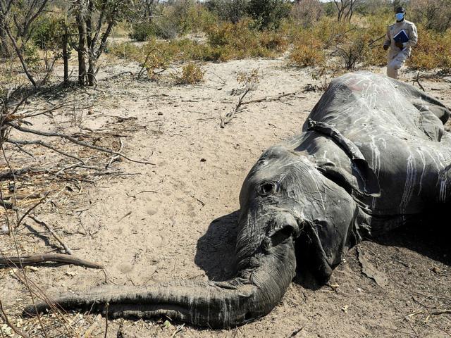 Cuộc chạy đua giải mã bí ẩn cái chết của hàng loạt con voi ở Nam Phi - Ảnh 1.