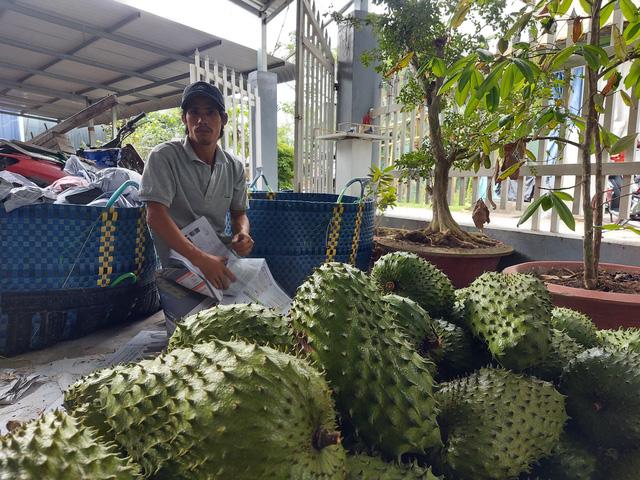 Trái cây miền Tây sẵn sàng ra chợ tết - Ảnh 2.