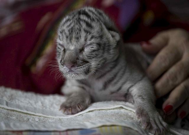 Hổ trắng hiếm có chào đời tại vườn thú Nicaragua - Ảnh 1.