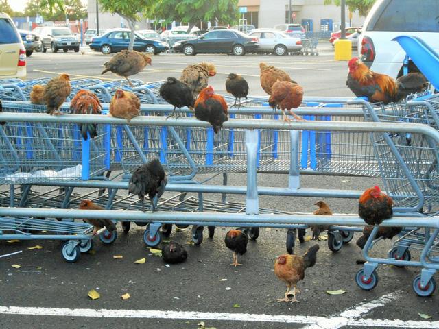 Thiên đường du lịch Hawaii biến thành nơi cư trú của hàng nghìn con gà rừng - Ảnh 1.
