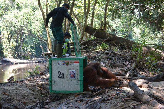 Indonesia nỗ lực bảo tồn loài đười ươi vùng Borneo trước dịch COVID-19 - Ảnh 1.