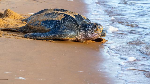 Ấp nở thành công loài rùa biển lớn nhất thế giới tại Ecuador - Ảnh 1.