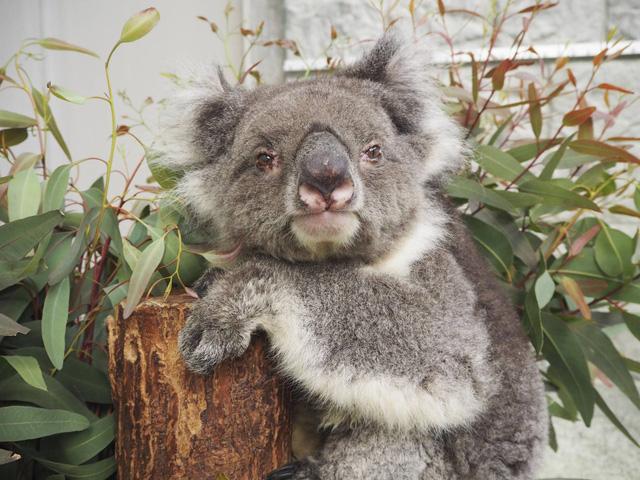 Con Koala ở vườn thú Nhật Bản lập kỷ lục Guinness thọ nhất thế giới - Ảnh 1.
