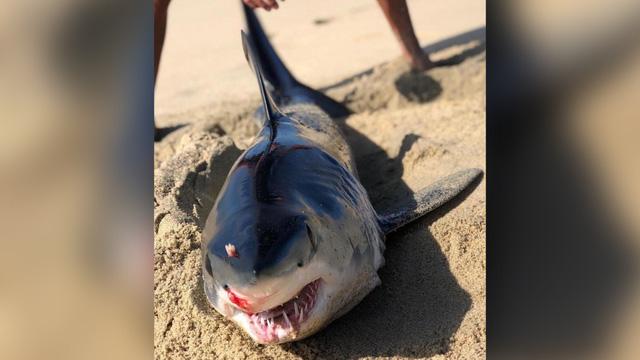 Xác cá mập bị đâm vào đầu bí ẩn, dạt vào bờ biển - Ảnh 1.