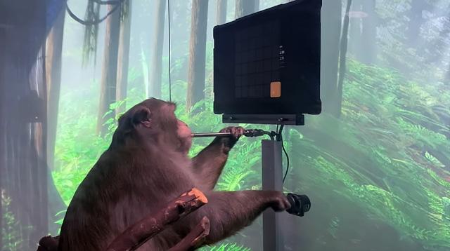 Khỉ được cấy chip vào não chơi điện tử điêu luyện - Ảnh 1.