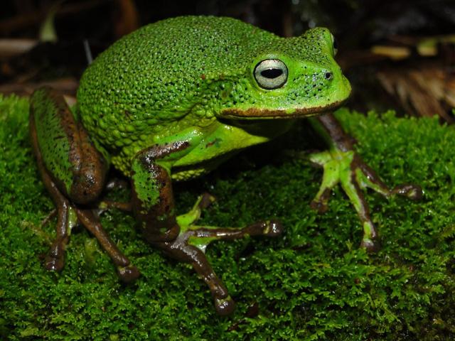 Phát hiện loài nhái túi mới trong rừng Amazon ở Peru - Ảnh 1.