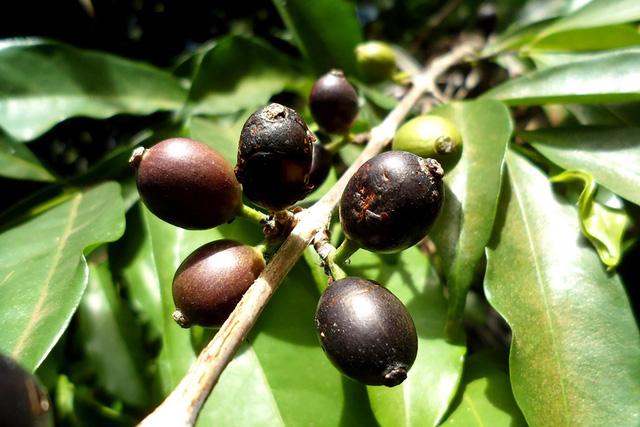 Cà phê Stenophylla tái xuất hiện sau nhiều thập kỷ biến mất - Ảnh 1.