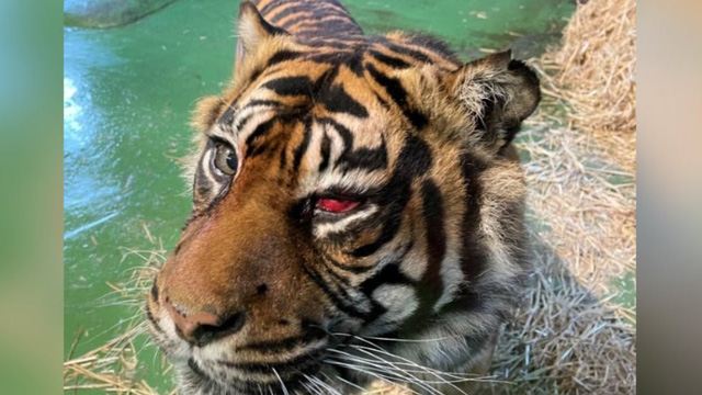 Ca phẫu thuật hy hữu để cứu... mắt cho chú hổ Sumatra - Ảnh 1.