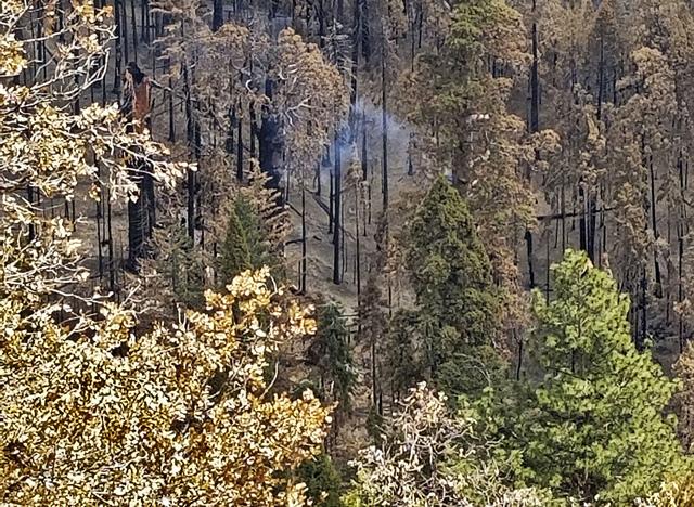 Cây cổ thụ ở Mỹ vẫn bốc khói âm ỉ sau gần 1 năm cháy rừng - Ảnh 1.