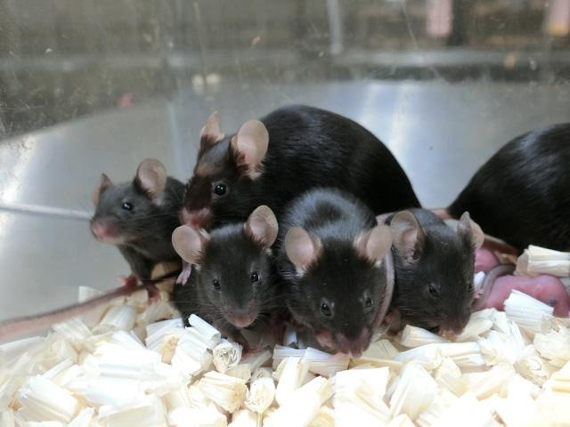 168 chuột con không gian sinh ra từ tinh trùng đông lạnh trên ISS - Ảnh 1.