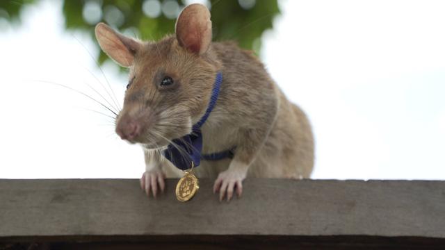 Anh hùng chuột dò mìn ở Campuchia nghỉ hưu - Ảnh 1.