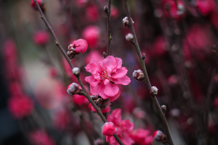 Dân Hà Nội đổ xô ra chợ hoa mua đào chơi Tết - Ảnh 4.