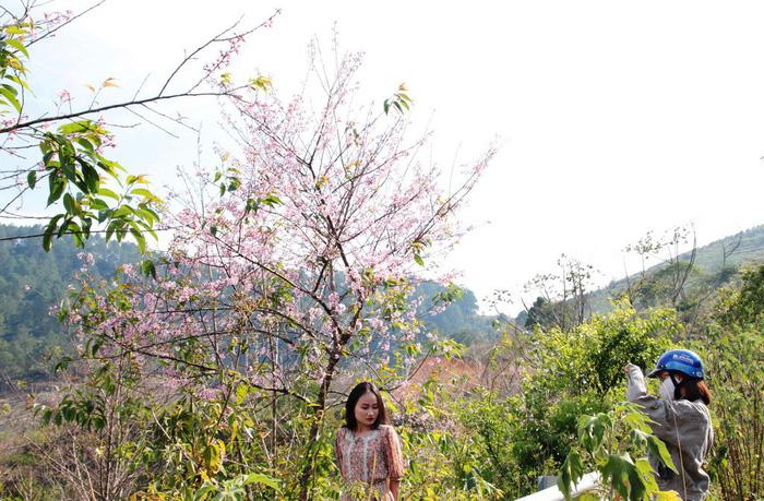 Lễ hội qua rồi mai anh đào hồ Tuyền Lâm mới nở rộ - Ảnh 5.