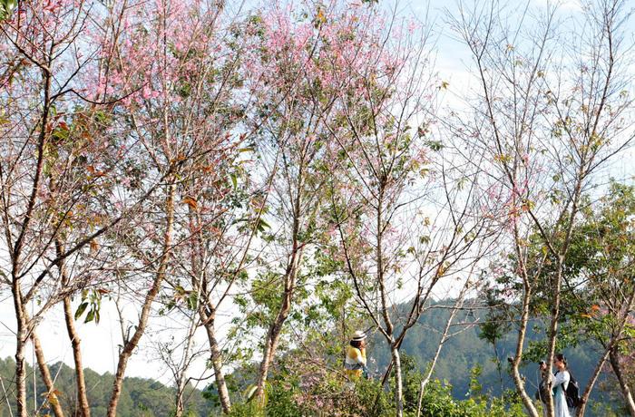 Lễ hội qua rồi mai anh đào hồ Tuyền Lâm mới nở rộ - Ảnh 7.
