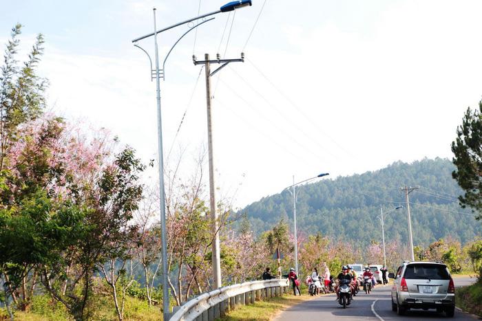 Lễ hội qua rồi mai anh đào hồ Tuyền Lâm mới nở rộ - Ảnh 1.