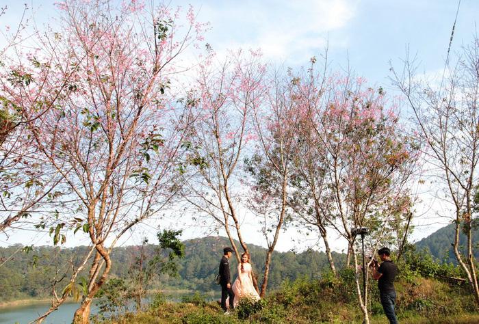 Lễ hội qua rồi mai anh đào hồ Tuyền Lâm mới nở rộ - Ảnh 3.